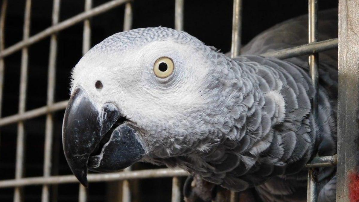 Cameroon: Arrest of a notorious African Grey Parrots trafficker